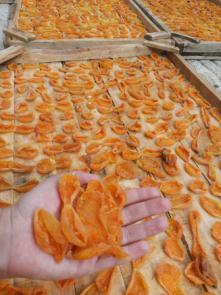 صادرات قیسی زردآلو ایرانی