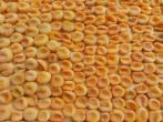 فروش اینترنتی قیسی زردآلو جهت صادرات
